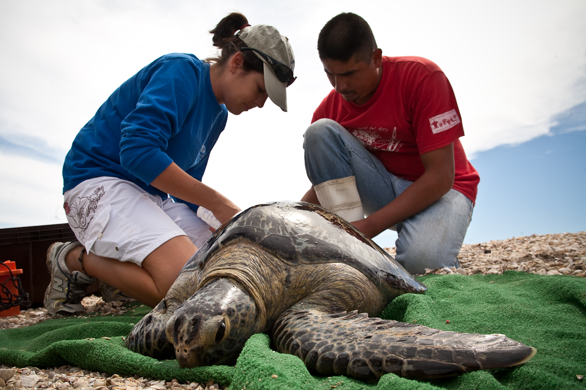 Sea Turtles take the top spot. Photo Credit: SeeTurtles and RED Sustainable Travel