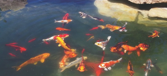 Koi fish pond at the Idaho Botanical Garden.