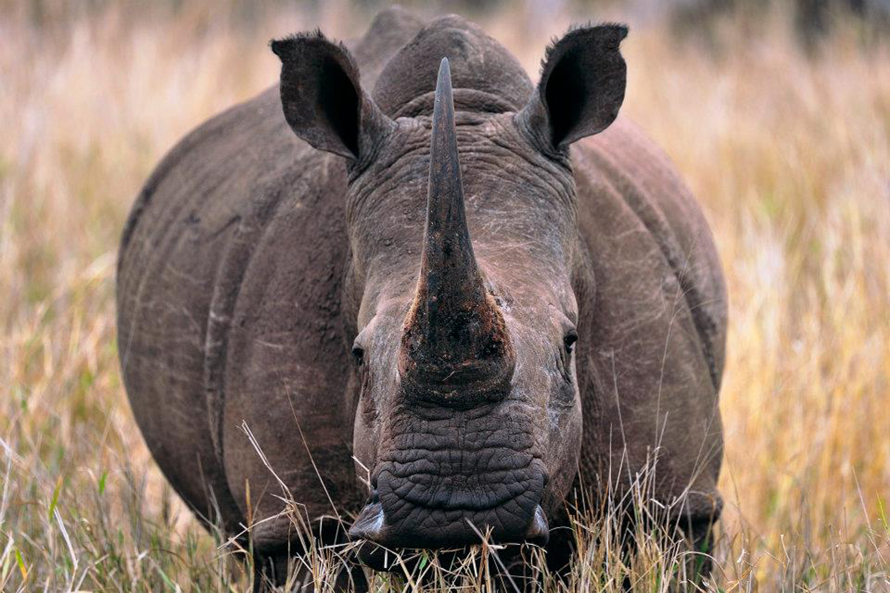 The Black Rhino. Photo Credit: Sub Saharan Volunteers
