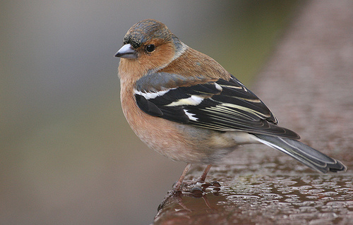 The chaffinch: Britain's most common British garden bird? Photo by Alan Cleaver