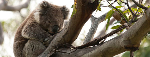 Koala's in Australia. Photo Credit: Earthwatch Institute