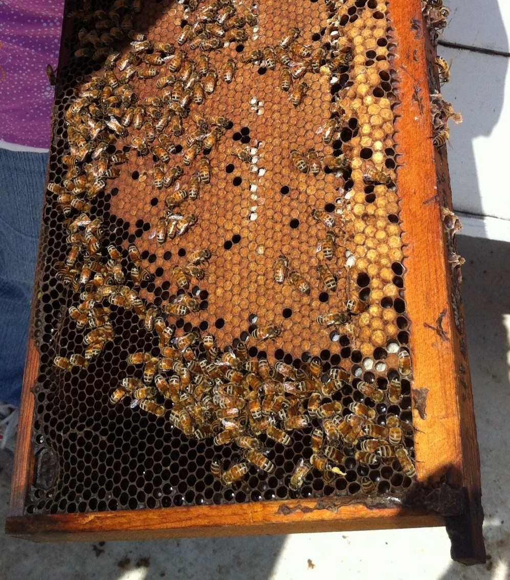 Frame of bees being pulled from a hive.