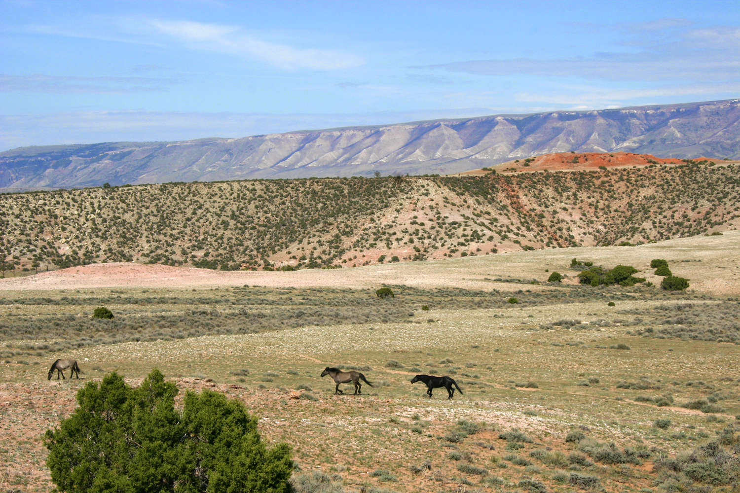 Pryor Mountain Wild Mustangs near Bighorn Canyon National Rec Area