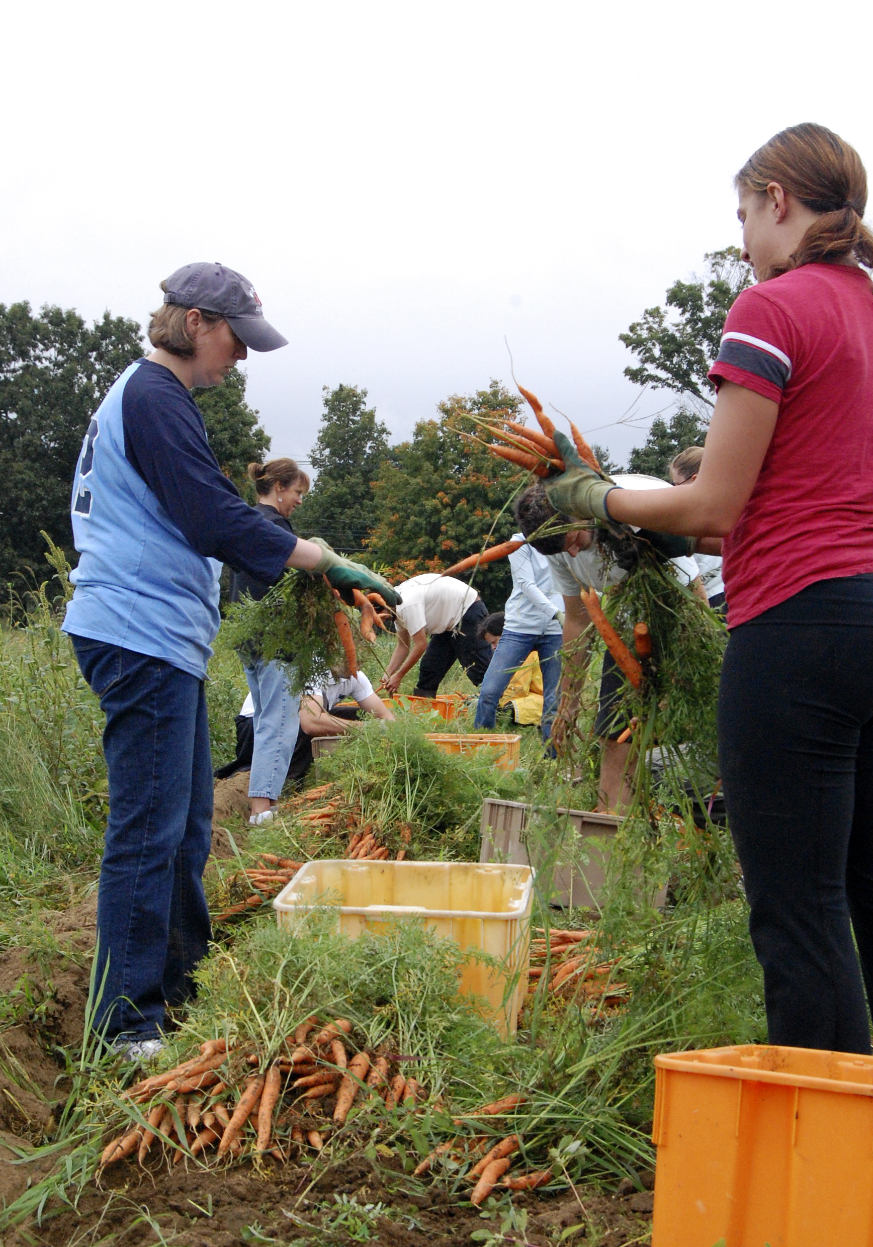 The Lenox Hotel team harvesting carrots for The Food Project