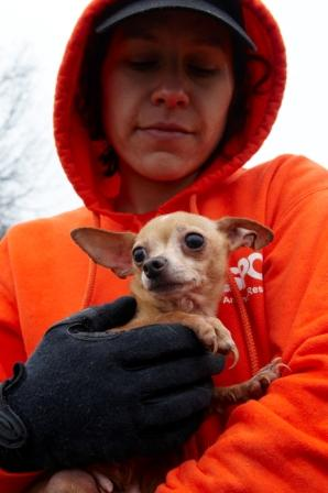 Here's Binah, the Chihuahua who was rescued from a puppy mill. She was a breeding dog forced to spend her entire life bearing litter after litter without rest or the most basic medical care. Binah has been medically treated and is now living in her forever home.