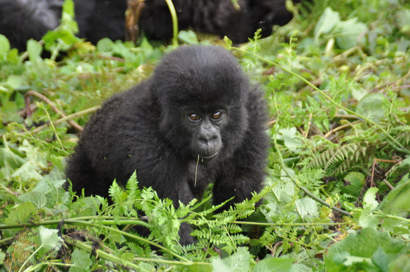 Meet the mountain gorillas in Rwanda as part of a 1-week climb with the Peaks Foundation