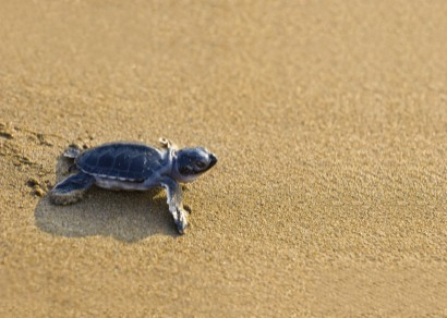 Help baby turtles all over the world with GoVoluntouring