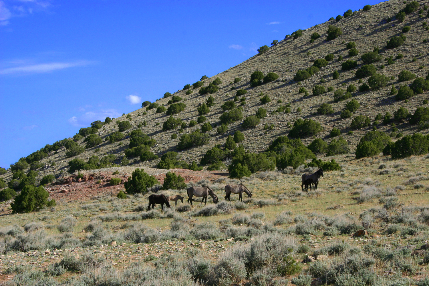 Pryor Mountain Wild Mustangs