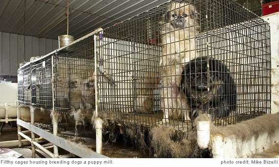 Filthy cages housing breeding dogs at a puppy mill.