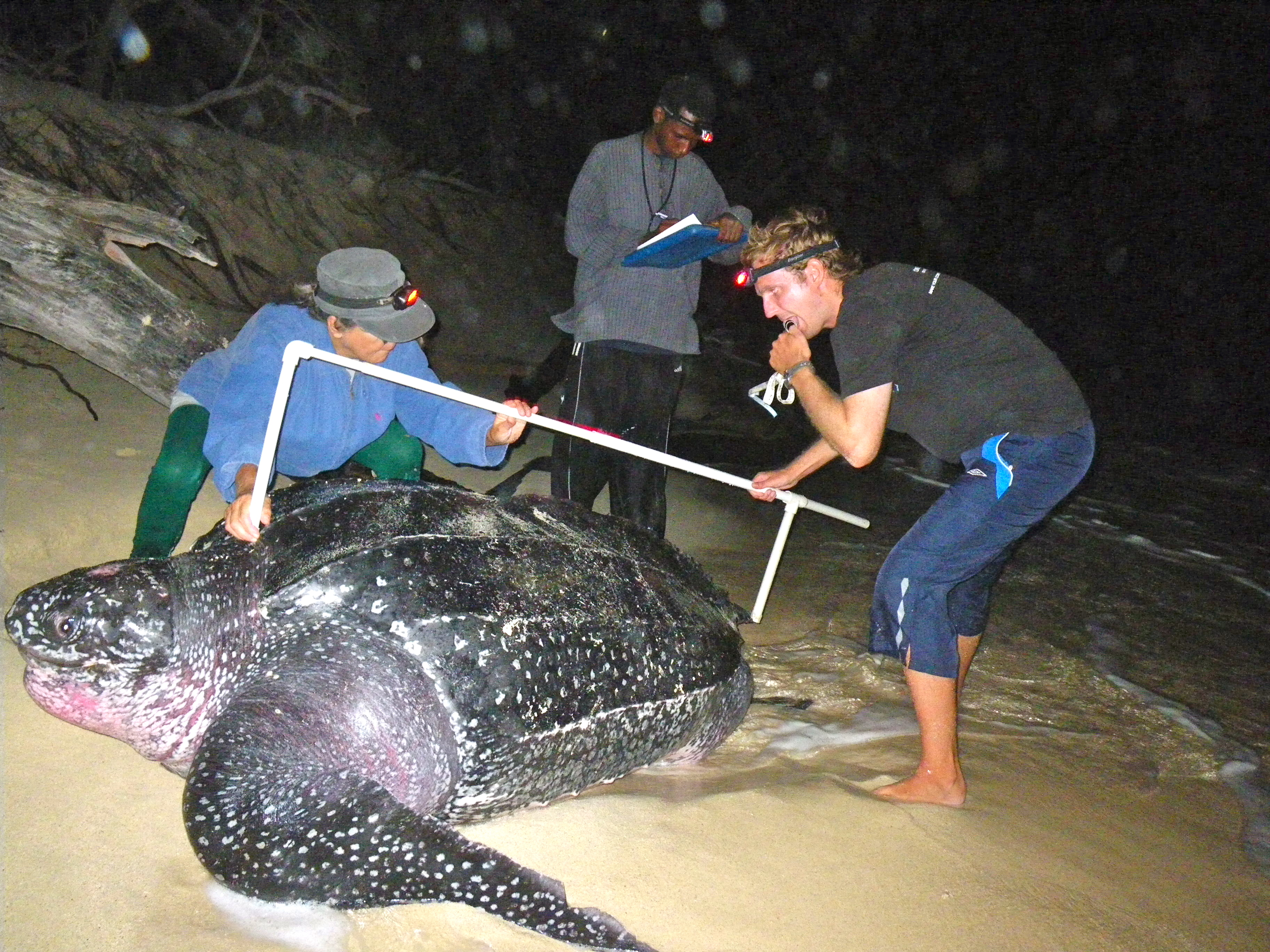 Measuring Leatherback turtles with the Kido Foundation