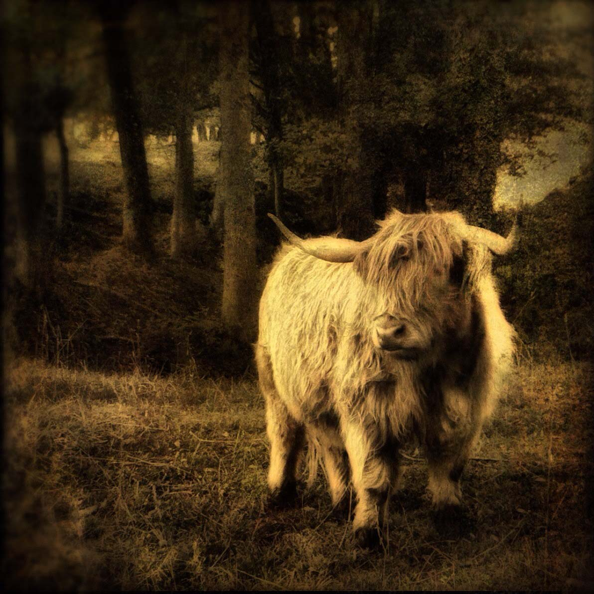 2011 Winner: Highland Cow by Gilles Peroud