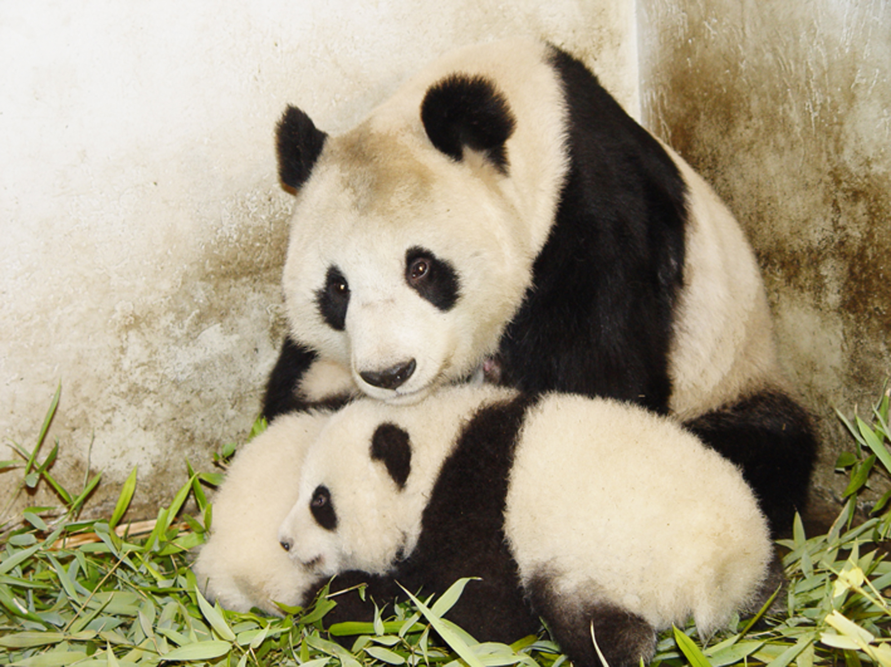 The Giant Pandas of Chine. Photo credit: Earthwatch Institute