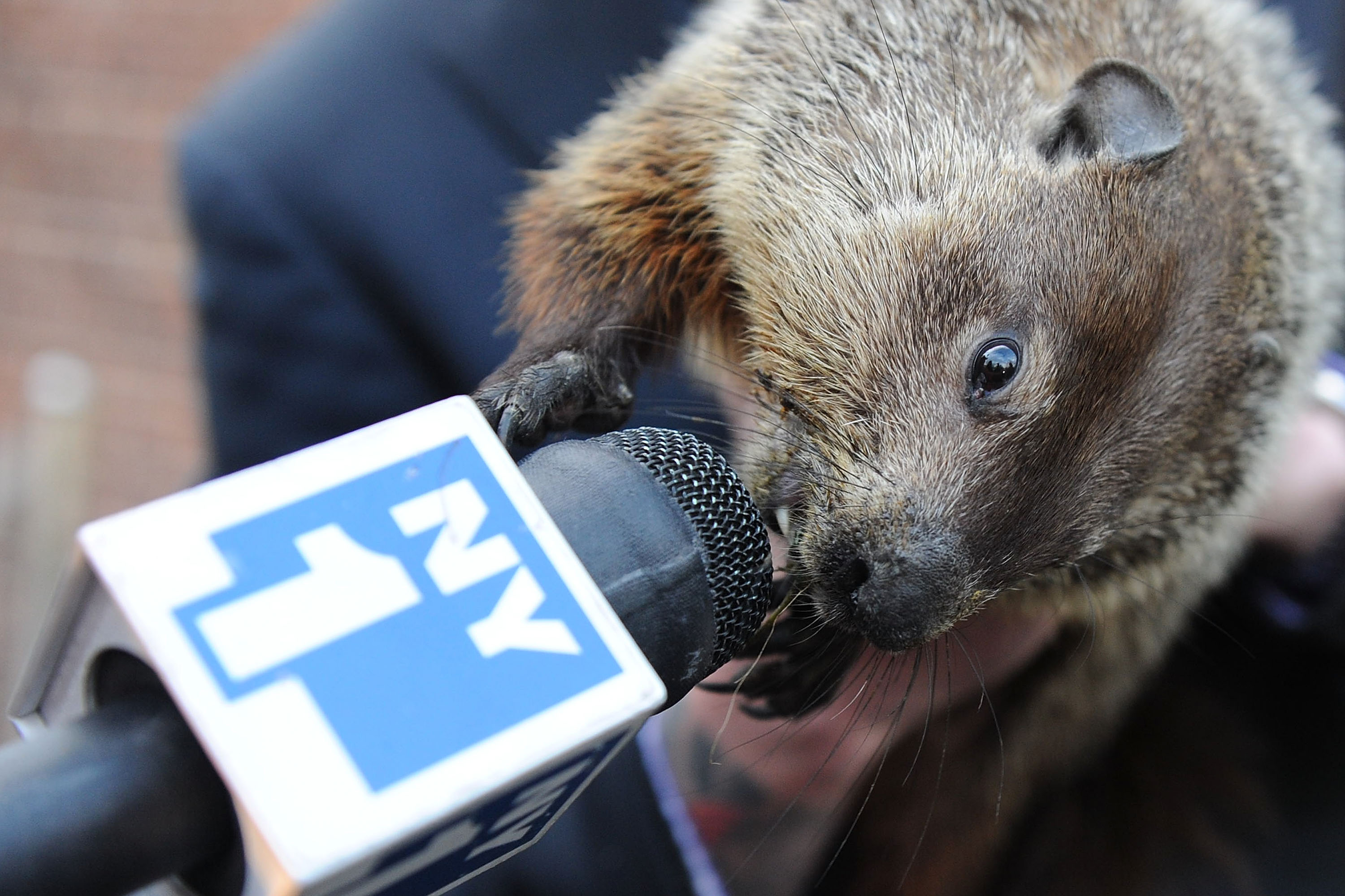 Staten Island Chuck gets up close and personal with NY1 at the Groundhog's Day Ceremony, sponsored by Time Warner Cable, at the Staten Island Zoo where he predicted an early spring. Photo credit: Shahar Azran Photography