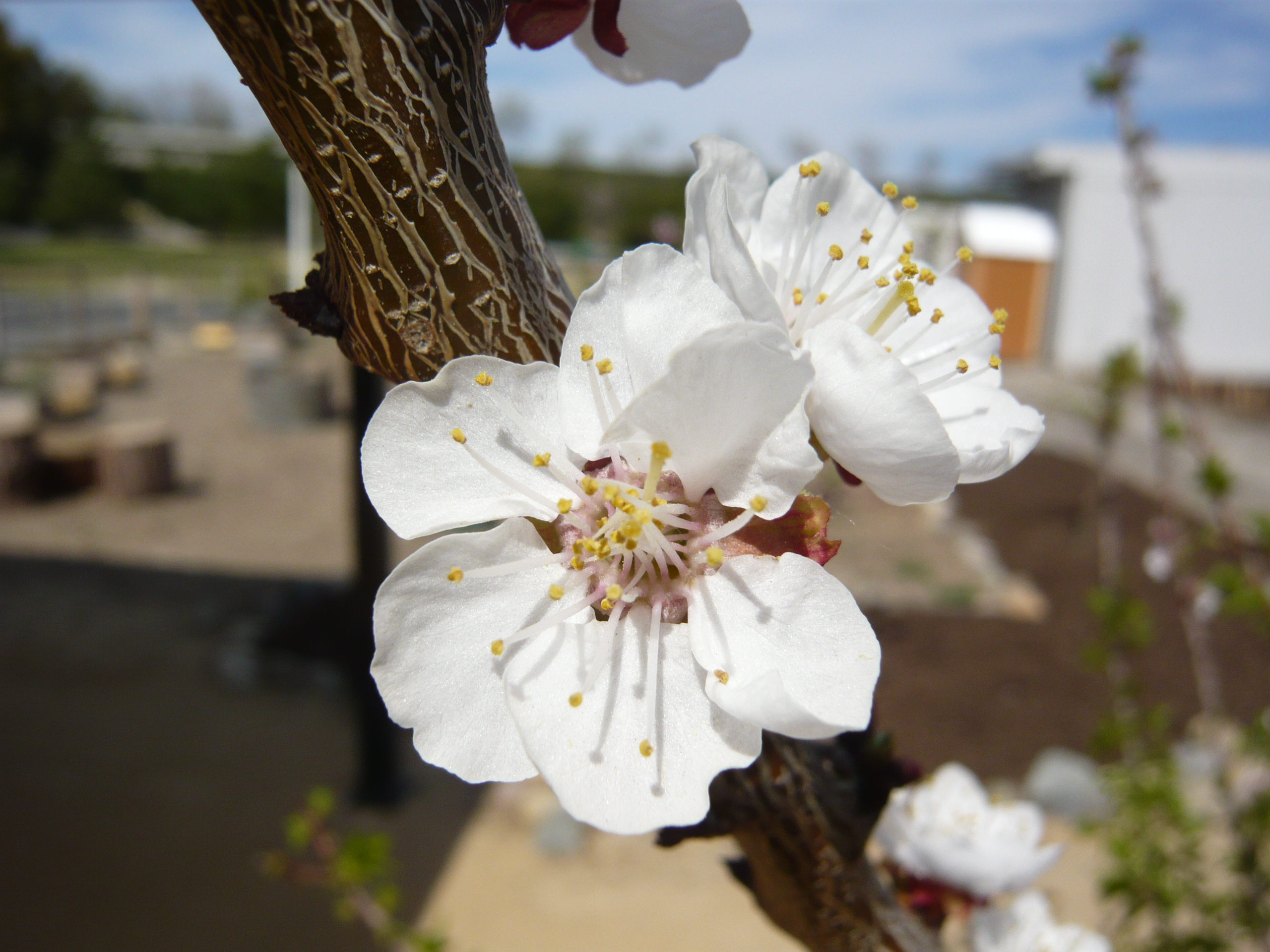 Spring fruit trees blooming in the Green Heart Garden.