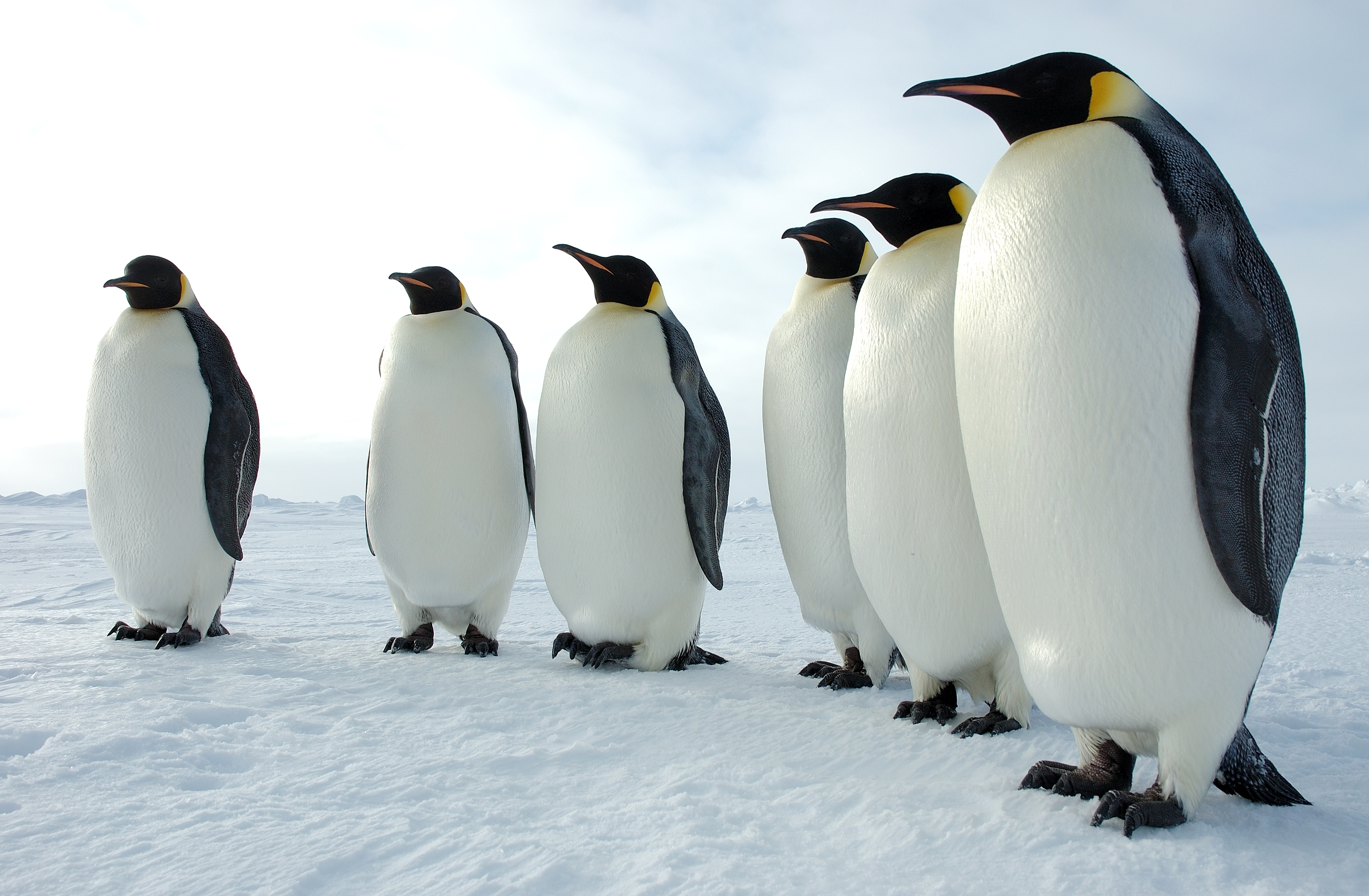 Emperor Penguins are the largest species of penguins.  They stand over 40 inches tall and weigh about 84 pounds.  The Emporer Penguins are one of the 12 species of birds in Antarctica.  Photo by Glenn Grant, National Science Foundation